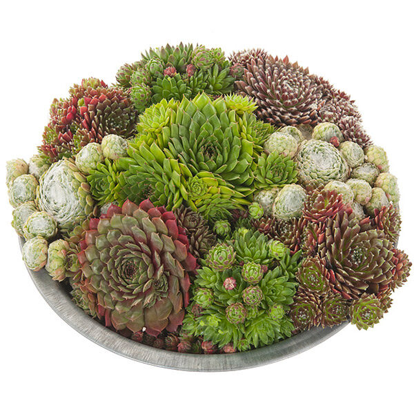 Sempervivum-in-zinken-schaal-29_close