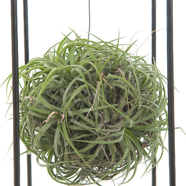 Tillandsia-magic-balls-12-close