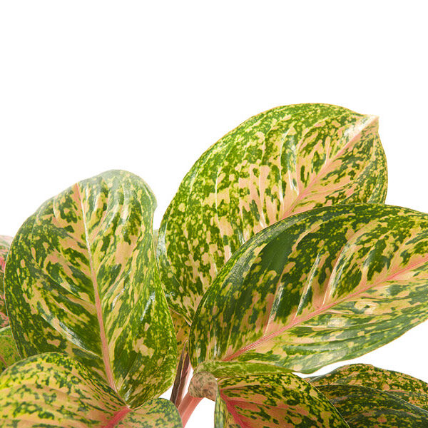 aglaonema-crete-striptease-blad