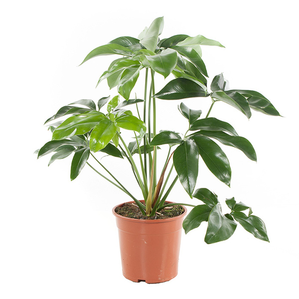 Philodendron Green Wonder - P 24 cm