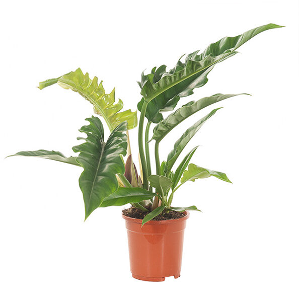 Philodendron-Narrow-Escape-17