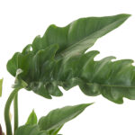 Philodendron-Narrow-Escape-17-blad