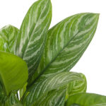 Aglaonema-Stripes-26-blad