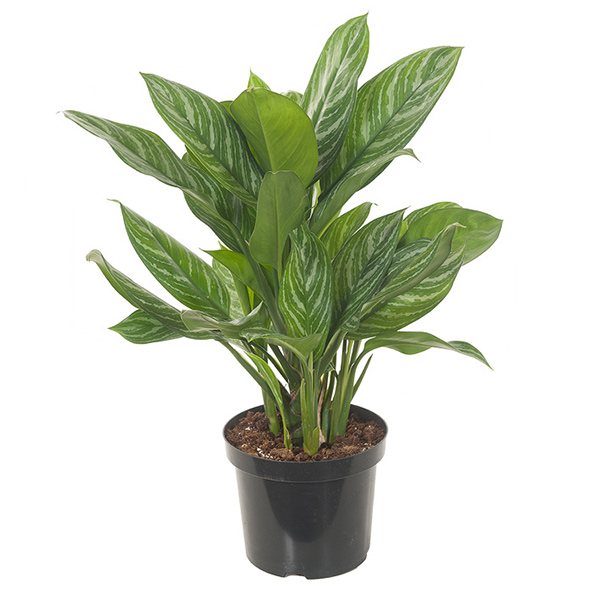 Aglaonema Stripes - P 27 cm