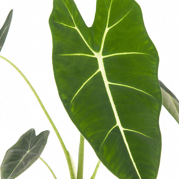 Alocasia-frydek-14-close