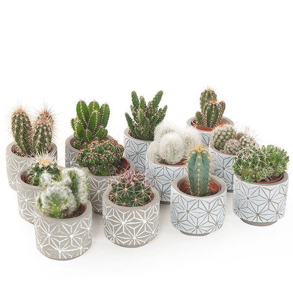 Mini cactus in betonpotje star (12-pack) - P 7 cm