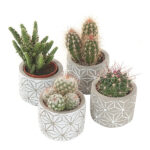 Cactus-MIX-in-beton-star-sierpot-closeup