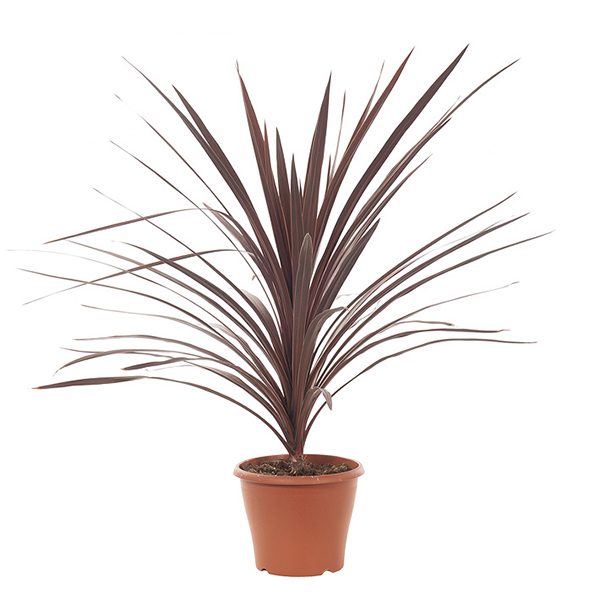 Cordyline Australis red sensation - P 21 cm