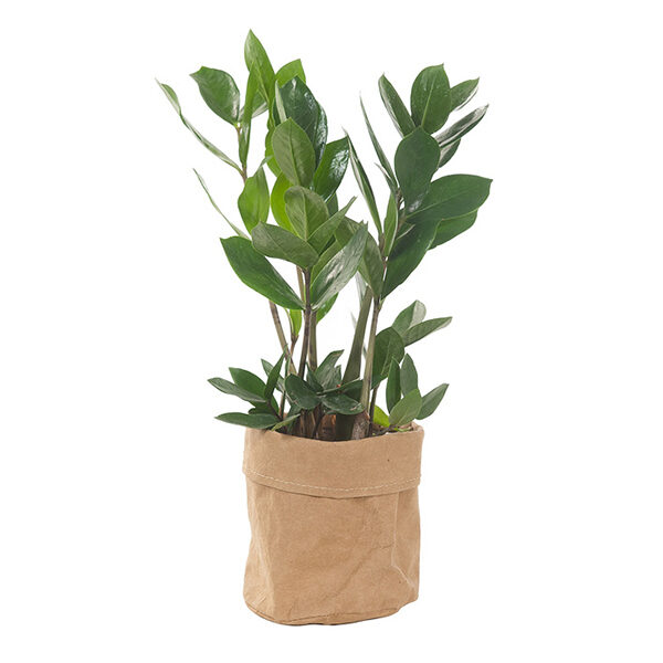 zamioculcas-in-plantbag