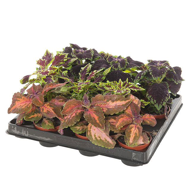 Siernetel (Coleus Blumei) mix 12-pack mini - P 6 cm