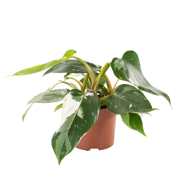 Philodendron White Princess - P 12 cm