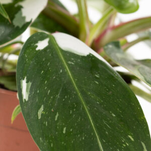philodendron white princess plant