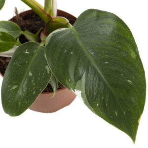 Philodendron White Princess leaf