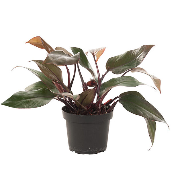 Philodendron-red-13