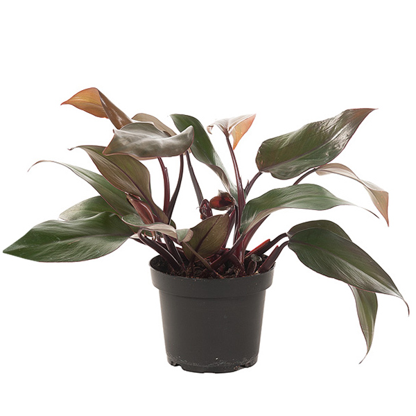 Philodendron Red - P 13 cm