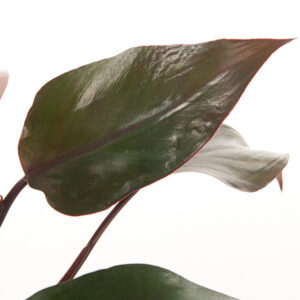 Philodendron rood