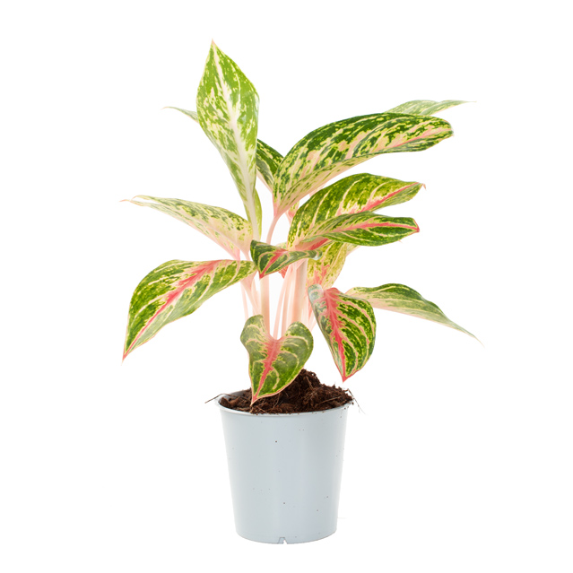 Aglaonema hybrid (pink red green) - P 12 cm