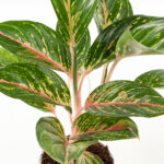 Aglaonema-hybrid-green-red-pink-close