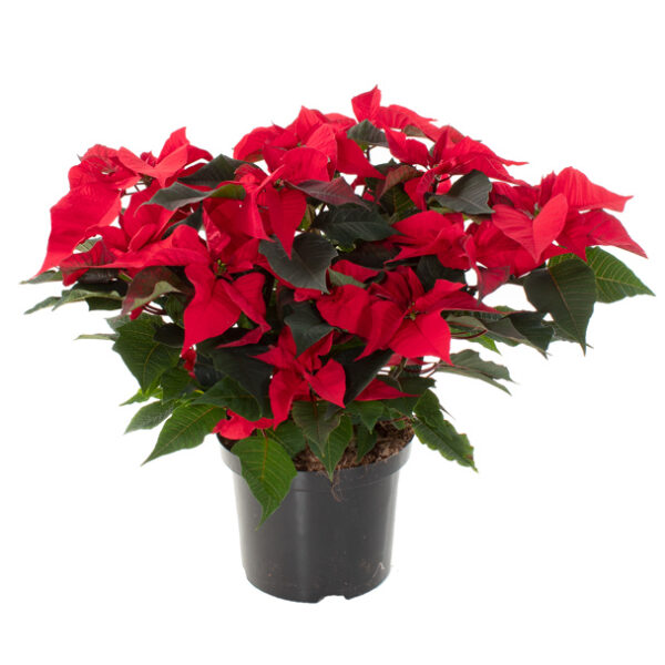 Kerstster-Poinsettia-Euphorbia-pulc-Christfeel-(2)