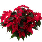 Kerstster-Poinsettia-Euphorbia-pulc-Christfeel-(6)