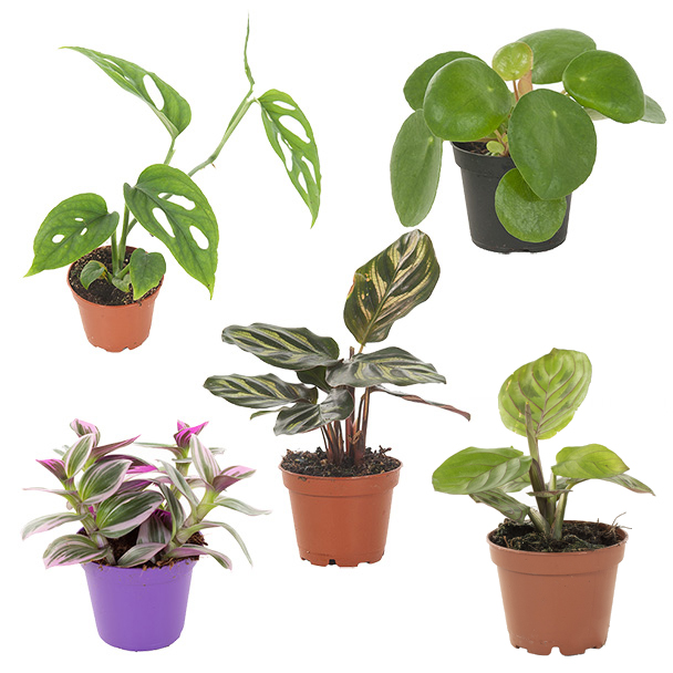 Mini Urban Jungle 5 pack (package deal)