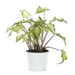 Caladium White Wing
