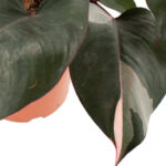 Philodendron-Pink-princess-21-(4)