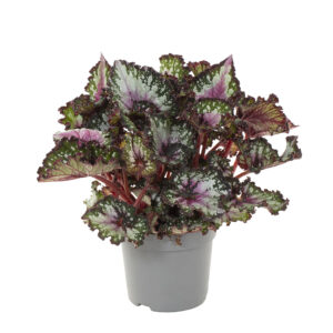begonia purple blush