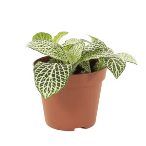 Fittonia wit