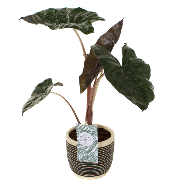 Alocasia Yucatan princess in retro pot