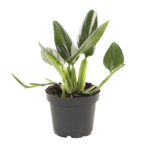 Philodendron Standleyana