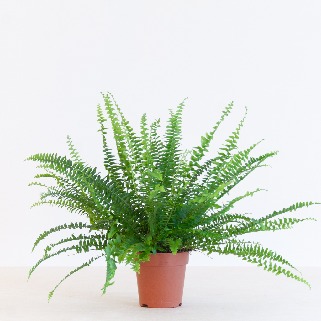 Nephrolepis Green Lady p12 – 1