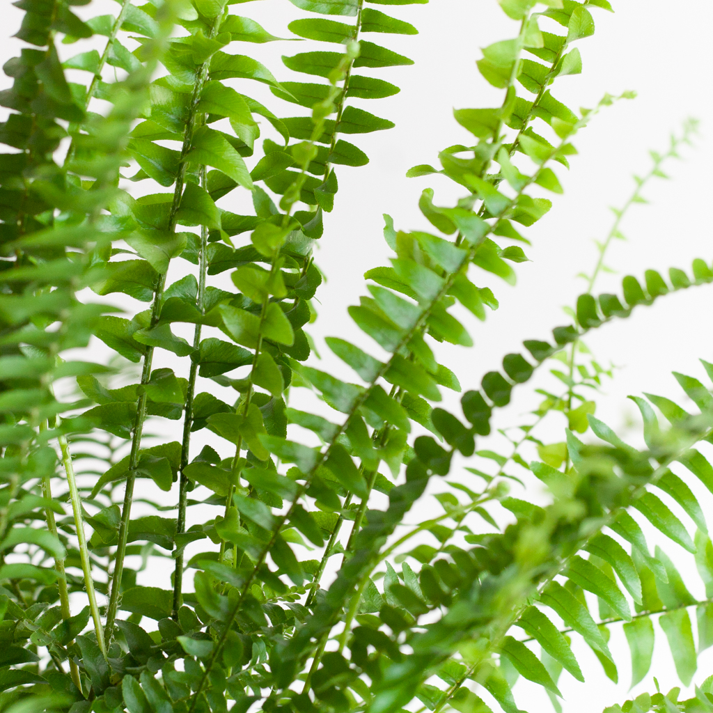 Nephrolepis Green Lady p12 – 4