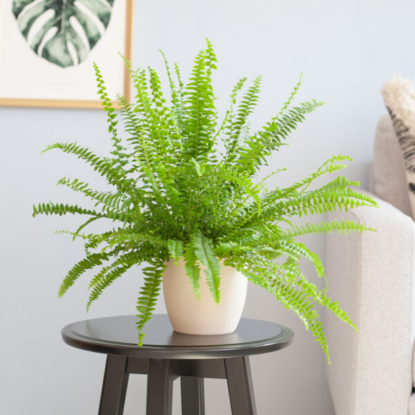 Nephrolepis Green Lady
