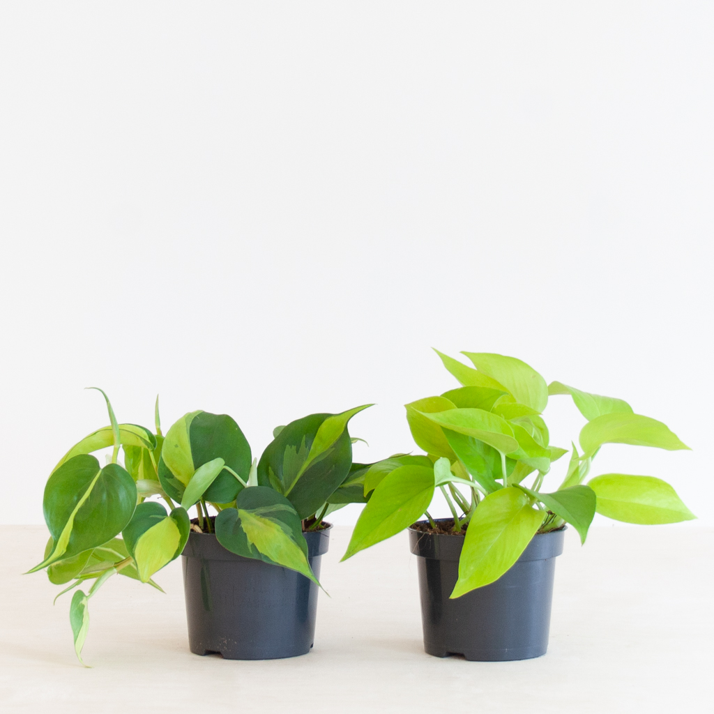 Philodendron Duo p12 – 1