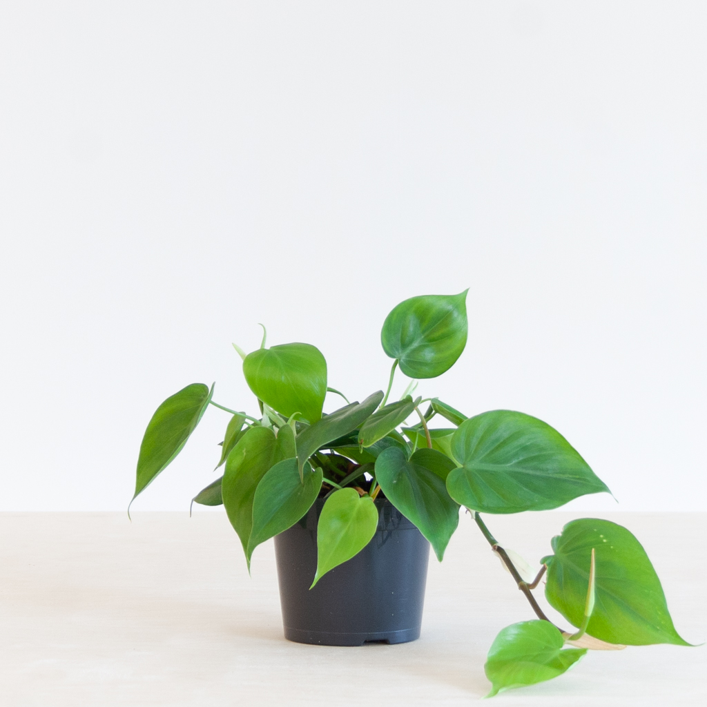 Philodendron Scandens p12 – 1