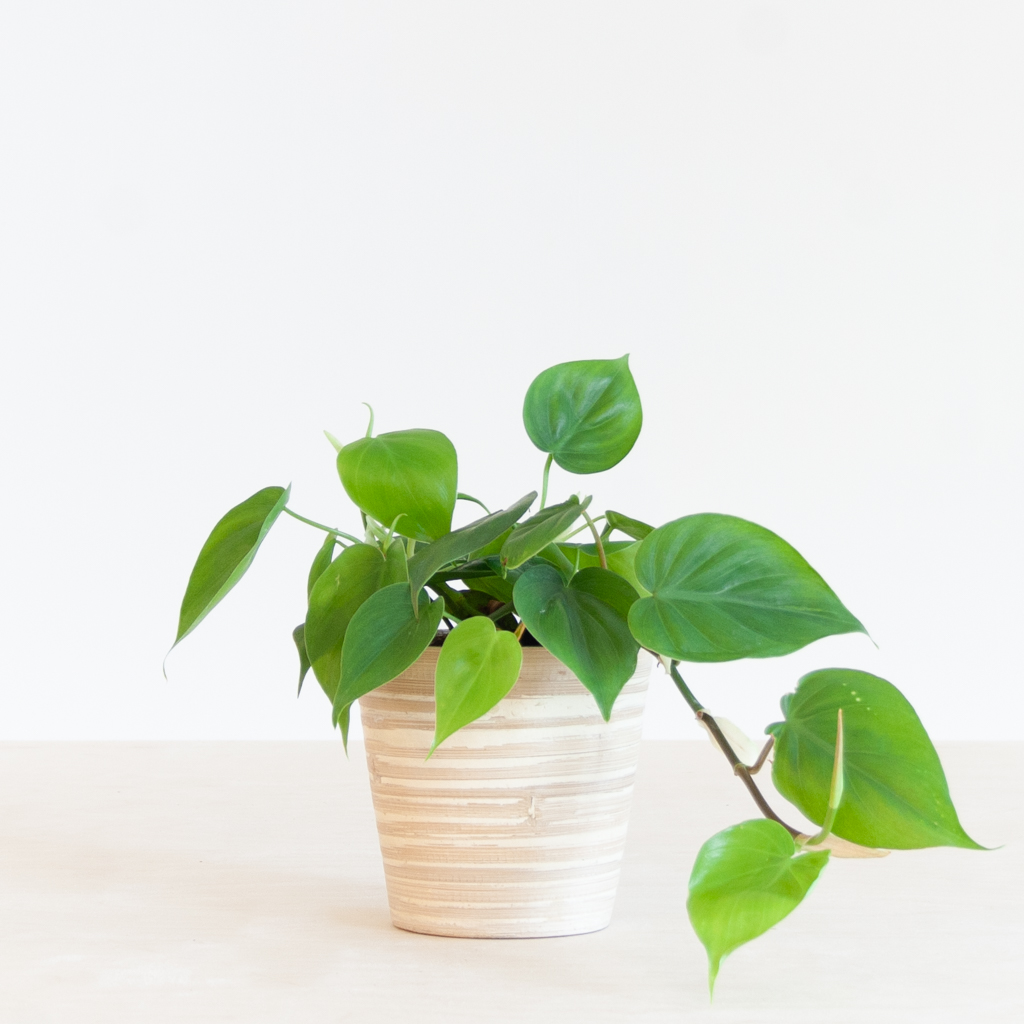 Philodendron Scandens p12 – 2
