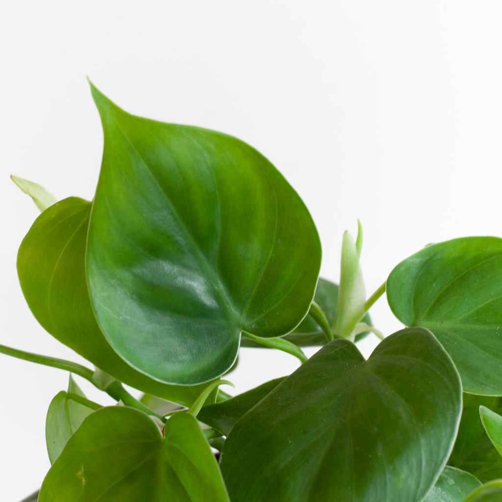 Philodendron Scandens p12 – 3