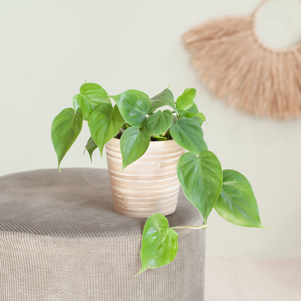 Philodendron Scandens p12 – Lifestyle
